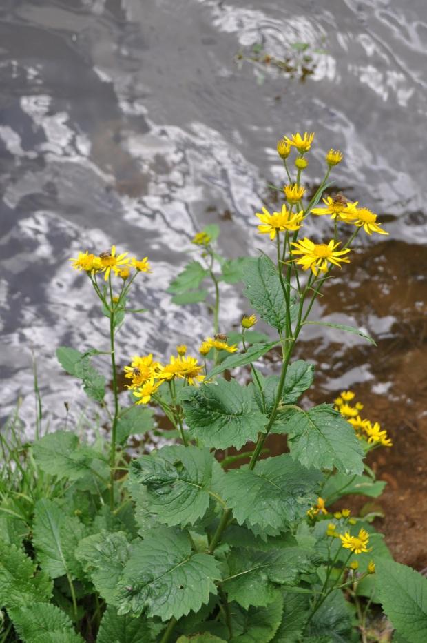 jacobaea alpina