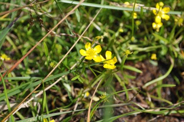 Ranunculus reptans - fiore - primo piano