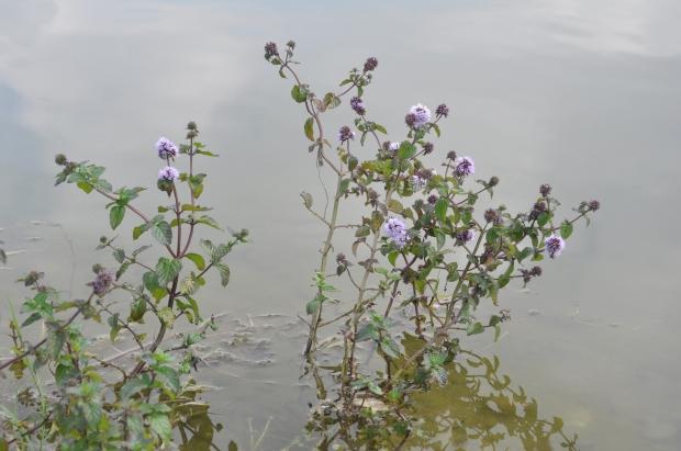 parco nord- menta acquatica
