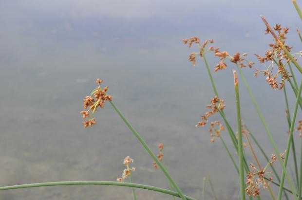 parco nord - schoenoplectus lacustris