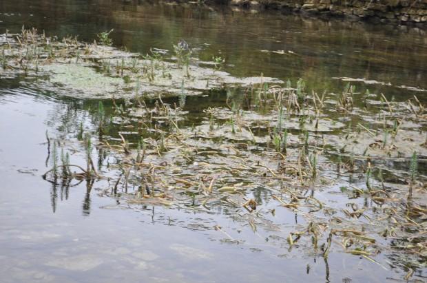 Cotswolds - Bibury - hippuris vulgaris