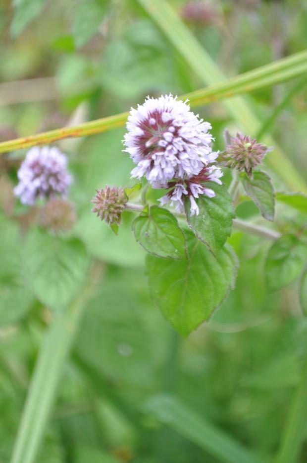 Cotswolds - Bibury - Mentha aquatica