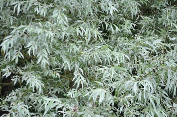 Cotswolds - Bibury - salice