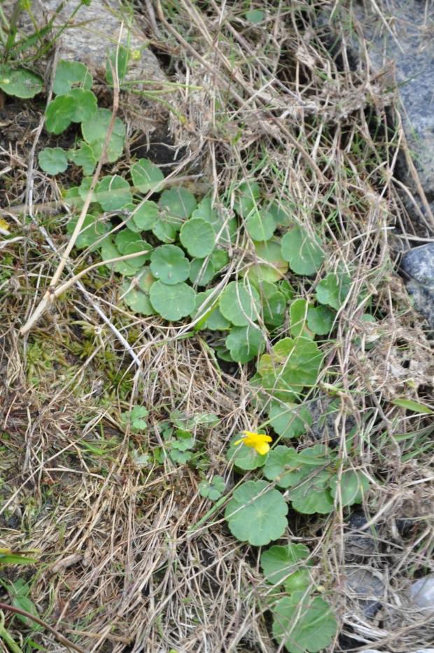 Dartmoor - Hydrocotile vulgaris