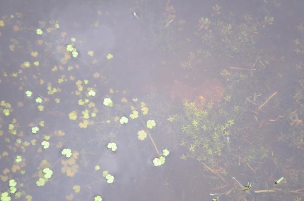 Dartmoor - Ranunculus Hederatus Callitriche Lithrum Portula