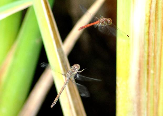 libellule in corteggiamento altra