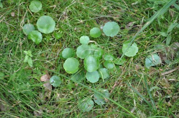 New Forest - Lyndhurst - hydrocotyle vulgaris