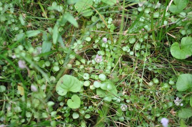 New Forest - Lyndhurst - lysimachia tenella