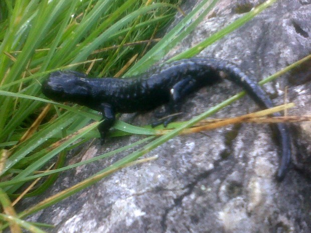 Salamandra atra 3