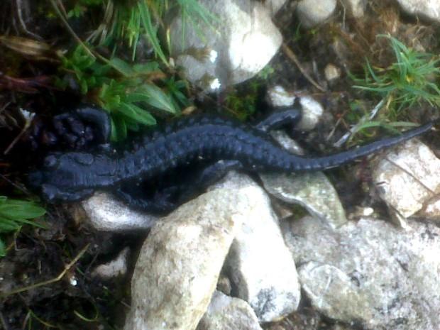 Salamandra atra 4
