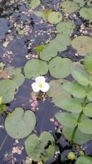 Hydrocharis morsus ranae - fiore
