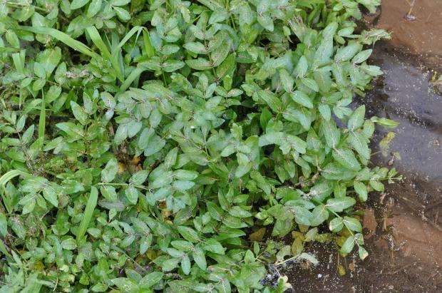 apium nodifolium